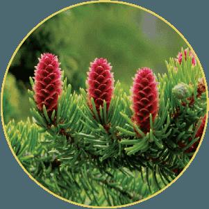 Cây thông đỏ sinh trưởng hoang dã