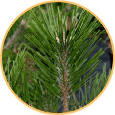 2,7 kg lá thông mới chiết xuất được 1 viên tinh dầu thông đỏ